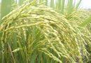 इंदिरा गांधी कृषि विश्वविद्यालय रायपुर द्वारा विकसित विभिन्न फसलों की पांच नई किस्में छत्तीसगढ़ के लिए जारी